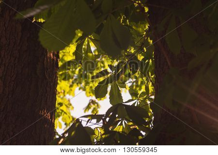 Green Tree branches chestnut between two trunks nature abstract background in sunny forest.