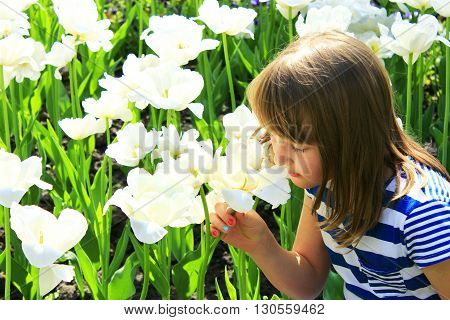 little girl smells white tulips on the flower-bed