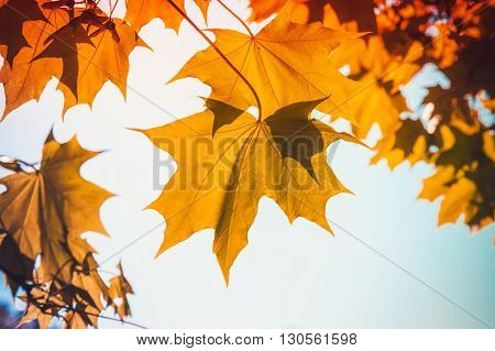 Yellow Red Autumn Maple Leaves Over Blue Sky