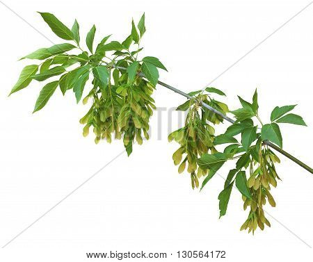 A branch of maple with leaves and seeds isolated on white background without shadows. Beauty of nature in details