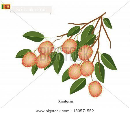Sri Lanka Fruit Illustration of Ripe Rambutan. One of The Most Popular Fruits in Sri Lanka.