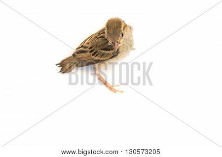 Bird Eurasian Tree Sparrow