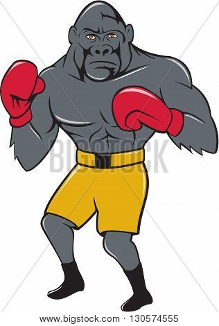 Illustration of a gorilla boxer in boxing stance viewed from front set on isolated white background done in cartoon style.