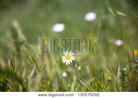 Close up of little daisies on grass