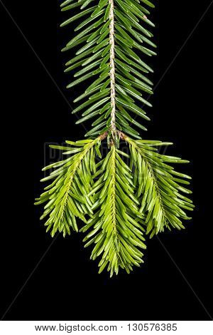 Young sprout of spruce isolated on black background.