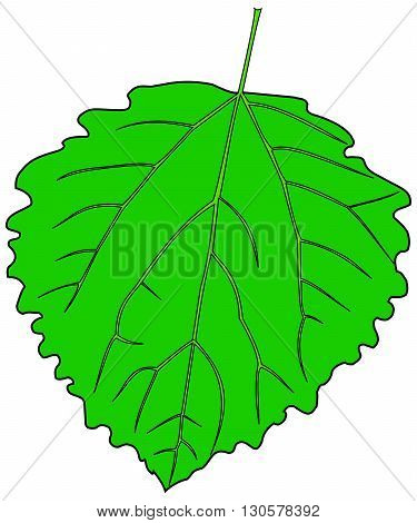 leaf aspen poplar ,Populus tremula, vector isolated aspen poplar leaf