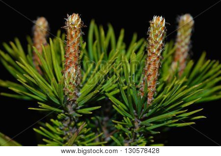 Four spring pine shoots on black background