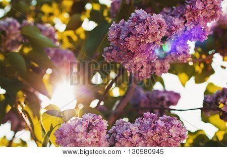 Цветы сиреневой сирени весной в луча