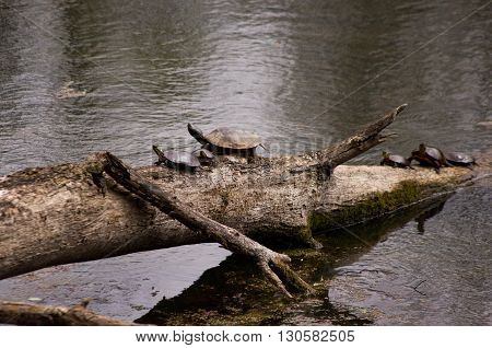 large painted turtle surrounded by smaller turtle on a log in a small pond.