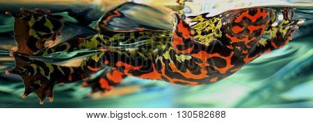 Fire belly toad, Bombina orientalis, viewed from beneath while floating in reflective water.