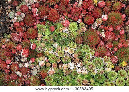 Houseleek Plant Background