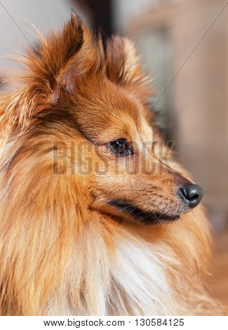 portrait of a shetland sheepdog in a house