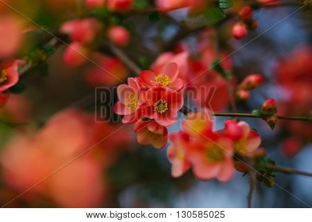 Beautiful quince flowers in blossom, spring blossoming
