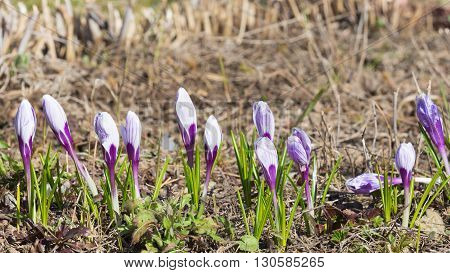 Beautiful white crocus flowers with purple streaks appeared in the garden in early spring