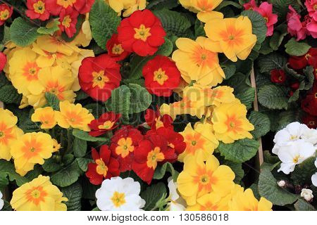 Spring Polyanthus Flowers