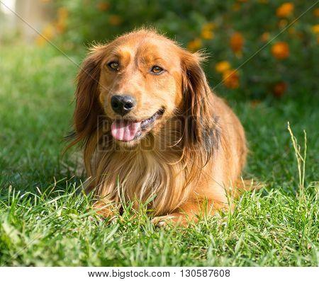 Cute Dachshund dog resting in the green grass