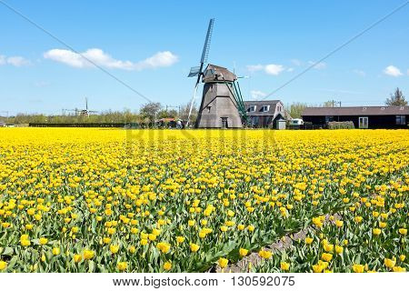 Traditional windmill with blossoming tulips in a dutch landscape in the Netherlands