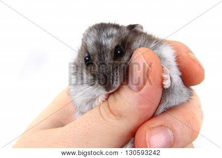 Dzungarian Hamster In Human Hands