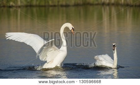 Two Mute swans (Cygnus olor) swimming in water and making trouble