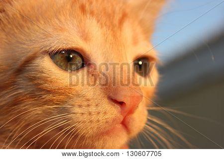 Cute domestic kitten. Head of red kitten. Cute kitten cat.