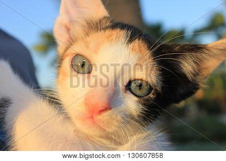 Tricolor domestic kitten.  Head of  kitten. Cute kitten cat.