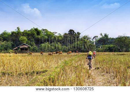 Tourists cycling in the countryside at Vang Vieng, Vientiane Province, Laos.