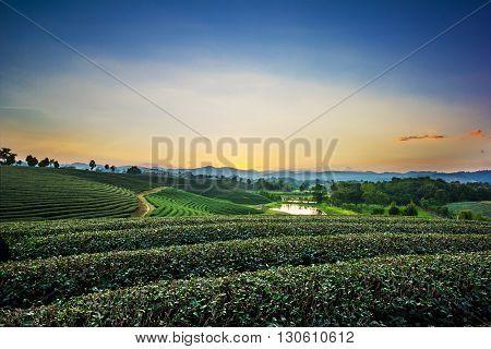 Sunset view of tea plantation landscape at Chiang rai Thailand.