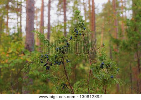 juniper with ripe berries in the woods