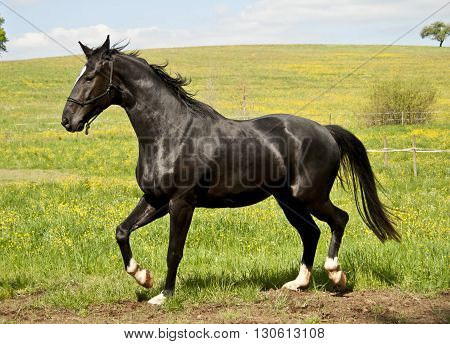 Beautiful Black stallion galopping free on pasture