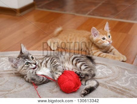 Kuril Bobtail cat plays with a ball of yarn. Red and gray kitten. Thoroughbred cat. Cute and funny kitten. Pet.