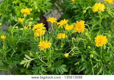 the beautiful yellow flowers in the flowerpot