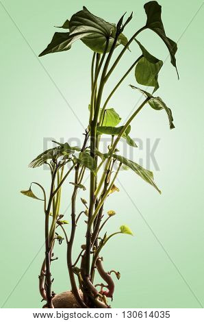 Sprouts growing from a potato with a green background