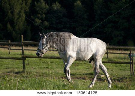 White andalusian stallion free outside on pasture