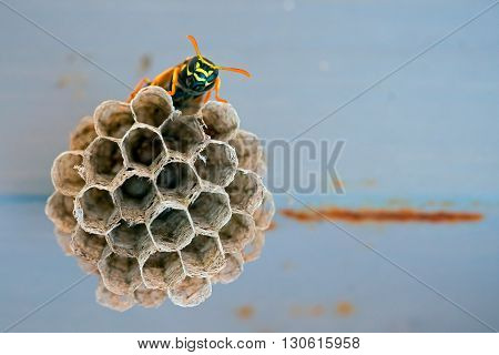Wasp sitting on the cells with copy space