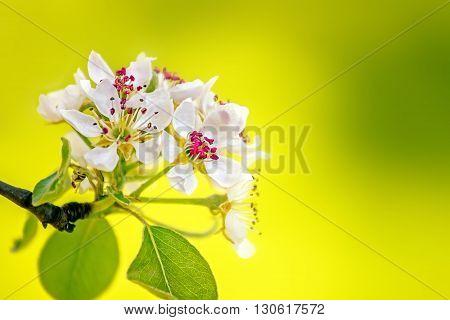 Pear Tree Blooms In Spring