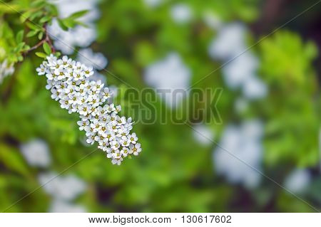 Branch With Small Flowers Blooming