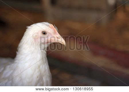Poultry: young Leghorn hen closeup portrait with a blank space