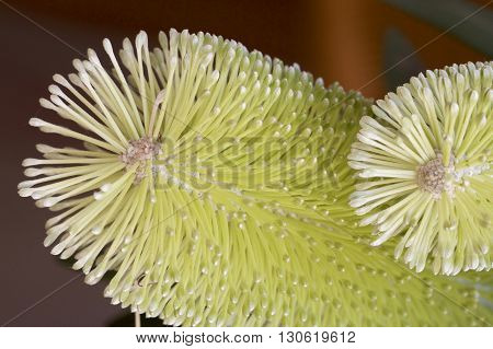 Green grevillea as a macro photograph in the studio.