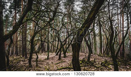 Grove of oddly shaped trees in Crooked Forest