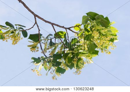 Branch of linden with inflorescences and leaves during the flowering against the background of the sky
