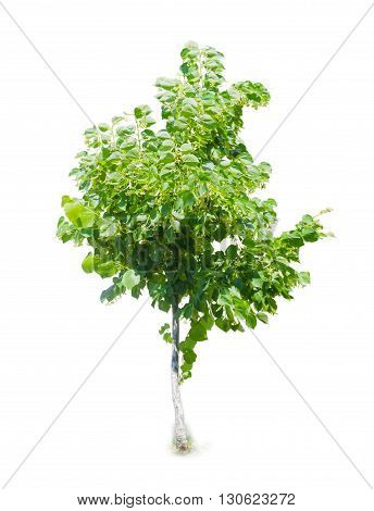 Young tree of linden during the flowering on a light background