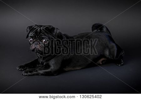 Pug puppy dog with black hair isolated on a black background