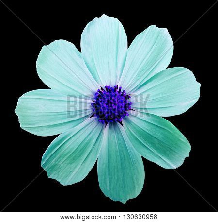 Flower kosmeya black isolated background with clipping path. Closeup with no shadows. Nature. Cyan aquamarine blue.