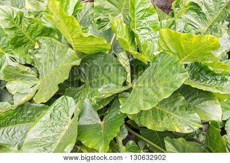 Thick waxy green leaves on plants in garden