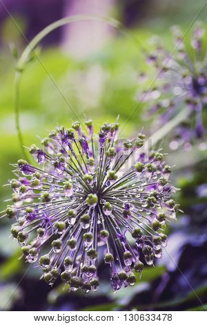 blooming balloons purple colour decorative onions on the background of  hops  after the rain with droplets of dew