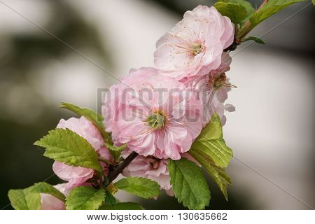 Dwarf Almond, herold of spring, Flowers of the gardens