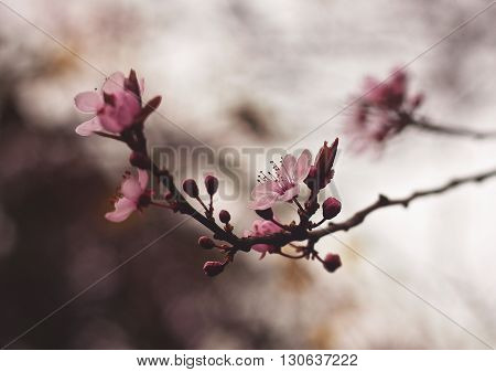 Beautiful pink flowers in spring with soft focus