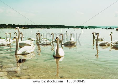 Flock of beautiful swans on the river
