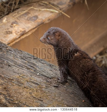 Wild american mink hunting for food early morning