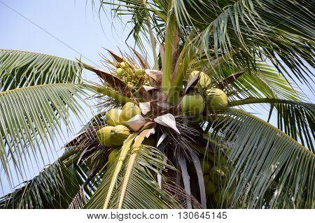 fresh green coconut tree or Cocos nucifera tree in garden ,